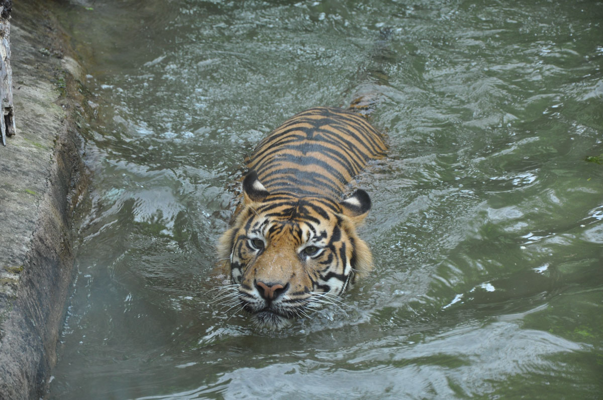 tygrys Aleksandra Szczesna retusz fotografii A| Poprawki miłe dla oka | Aleksandra Szczesna