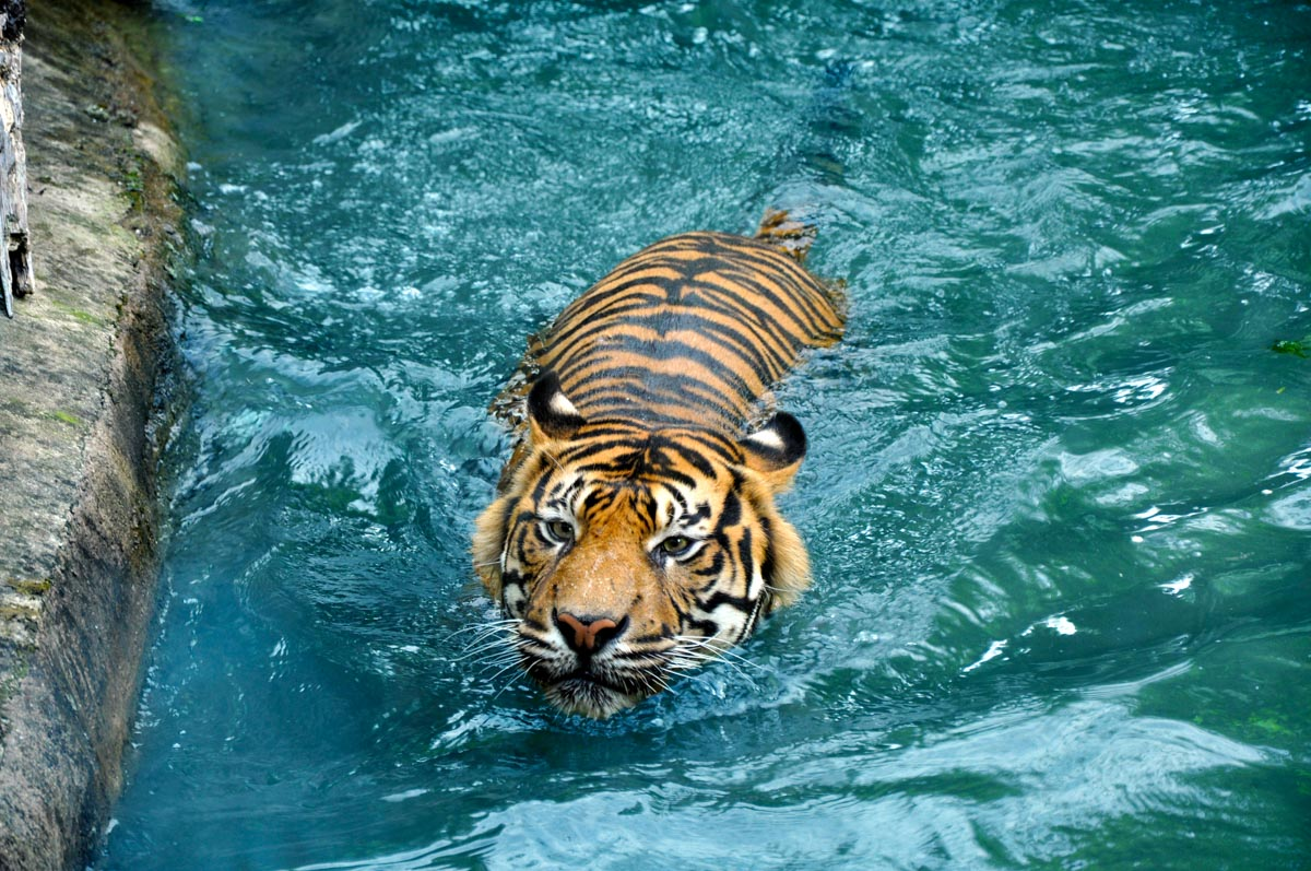 tygrys Aleksandra Szczesna retusz fotografii B | Poprawki miłe dla oka | Aleksandra Szczesna