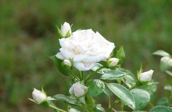 przeswietlenie-roza-Aleksandra-Szczęsna-retusz-A