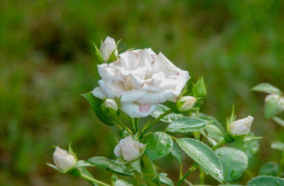 przeswietlenie-roza-Aleksandra-Szczęsna-retusz-B